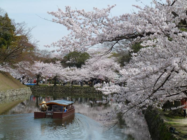 Cherry blossom around Hikone castle