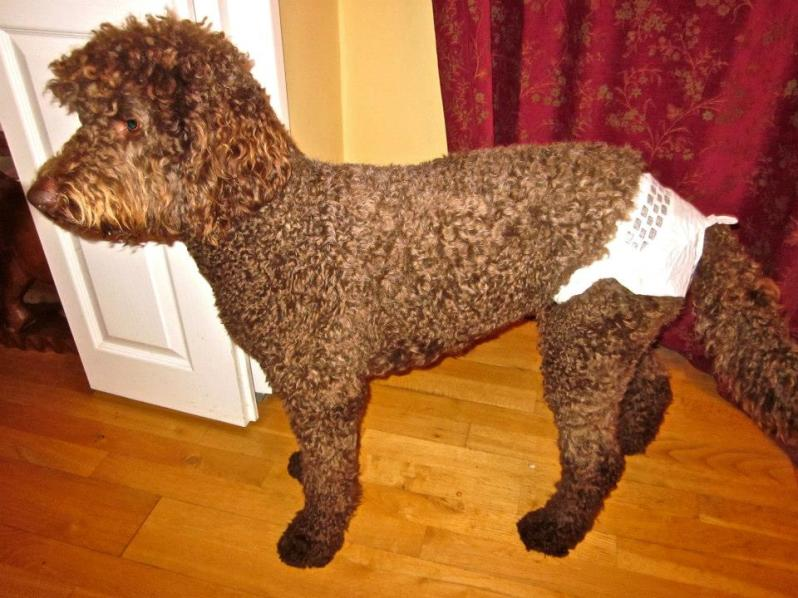 Specimen: one labradoodle in a nappy