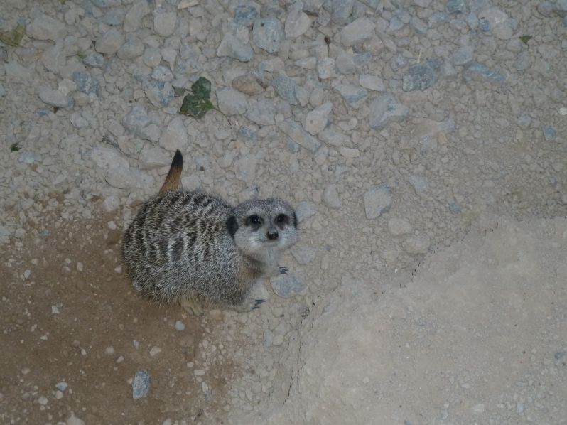 This meerkat just rocketed off the cuteness scale